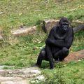 gorilles9