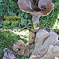 Gomphus clavatus