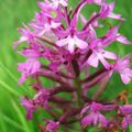 Les orchidées sauvages du gers