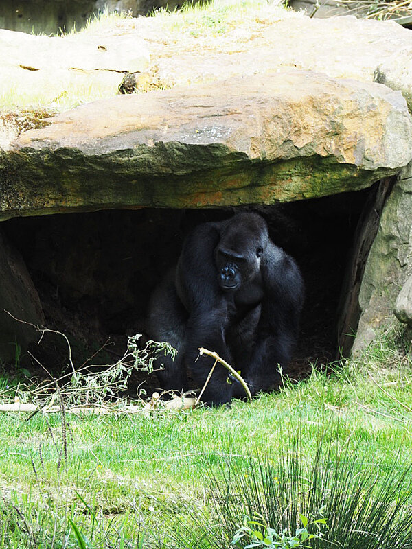 zoo-beauval-animaux-gorilles-8