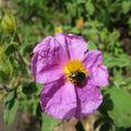 IMG_4374 ciste et scarabée