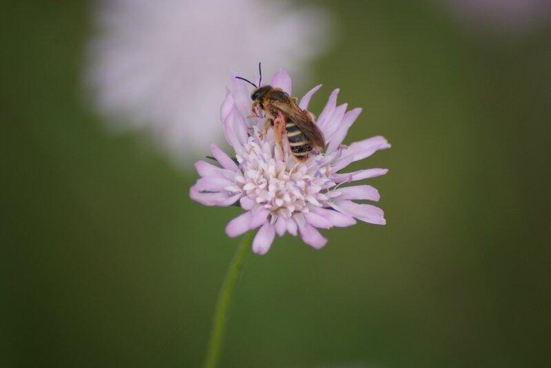abeille apis melifera 89