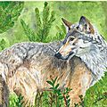 Loup (Canis lupus), aquarelle