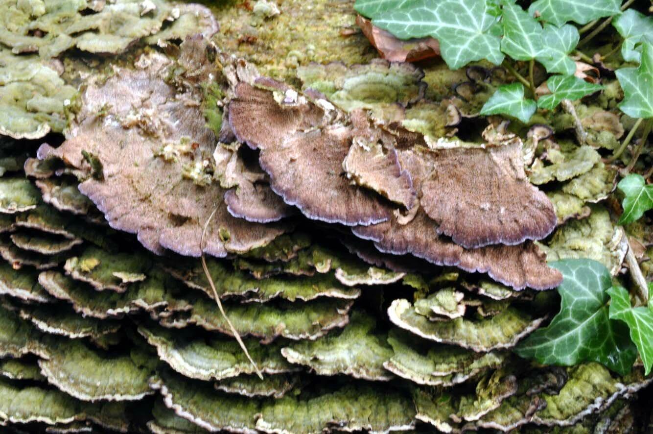 Trichaptum abietinum (4)