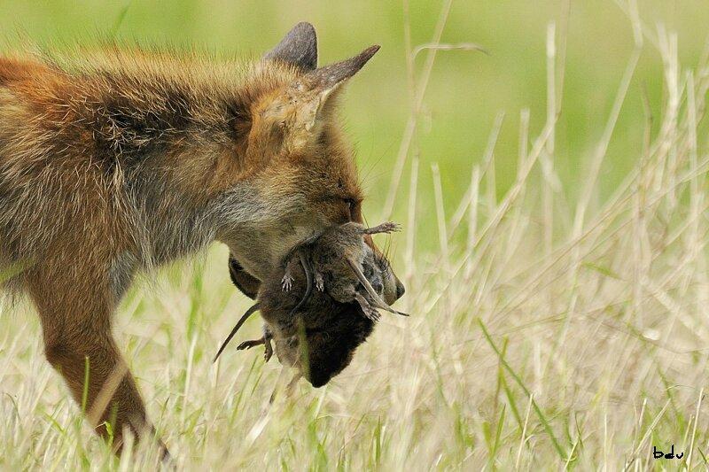 renard et rat