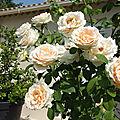 Dernieres roses du jardin