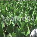16_plantation de taros
