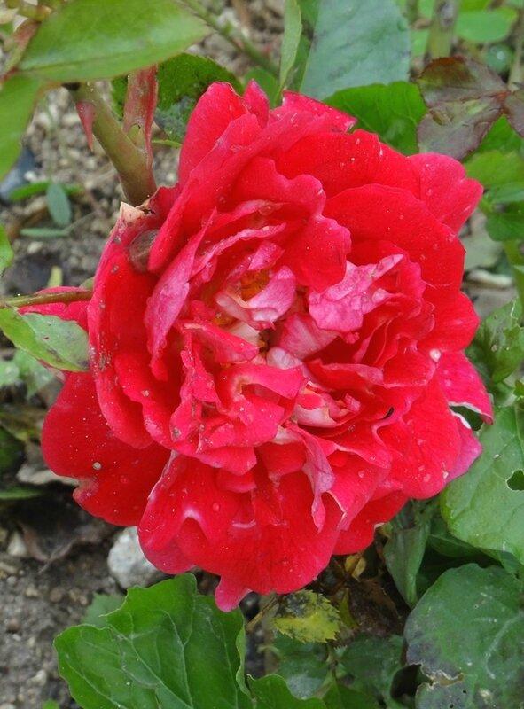 rosier de willemse fuchsia 3
