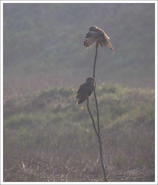 Aiguillon lulu hiboux marais contrejour 3 310313