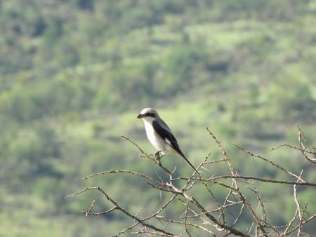 lesser_grey_shrike