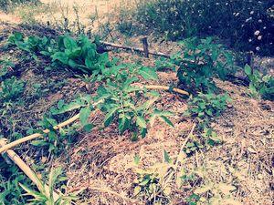 Nos plants de tomate et épinards