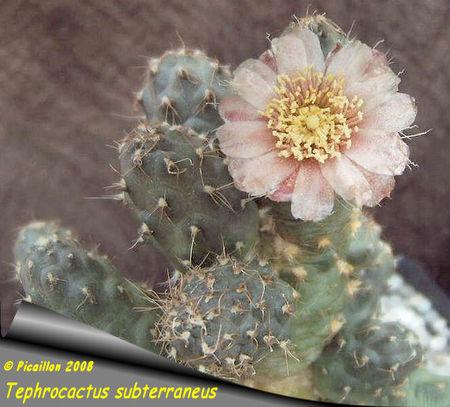 Tephrocactus_subterraneus_2008