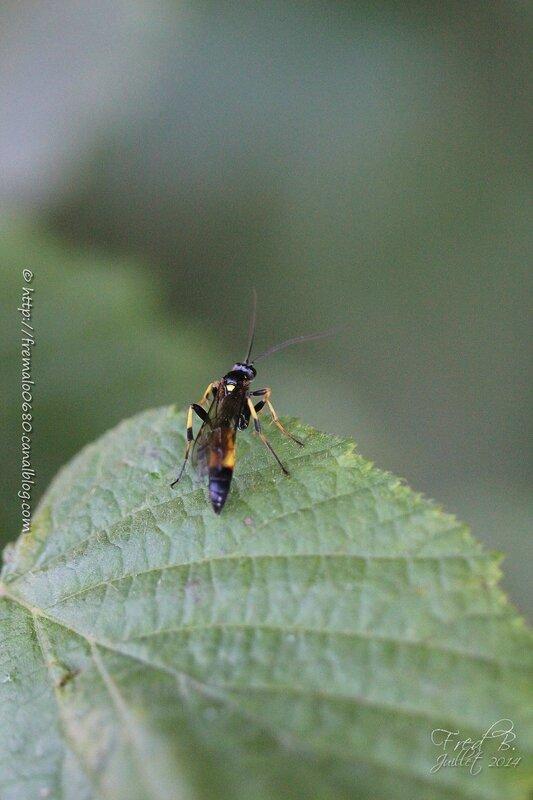 Tenthredo maculata ♀ ?