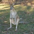 kangourou Katherine (2)
