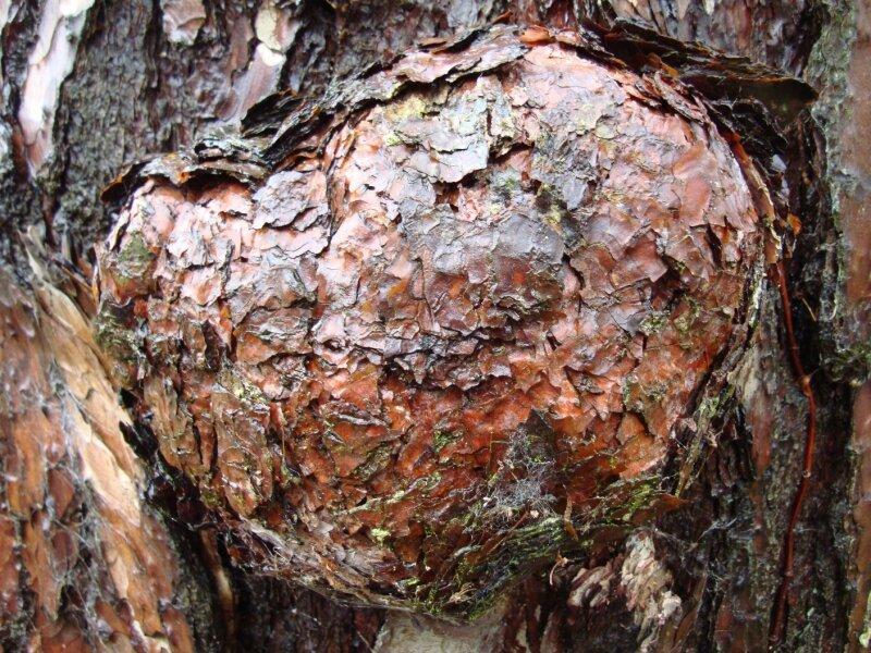 un gros nodule sur un pin sylvestre (je crois)