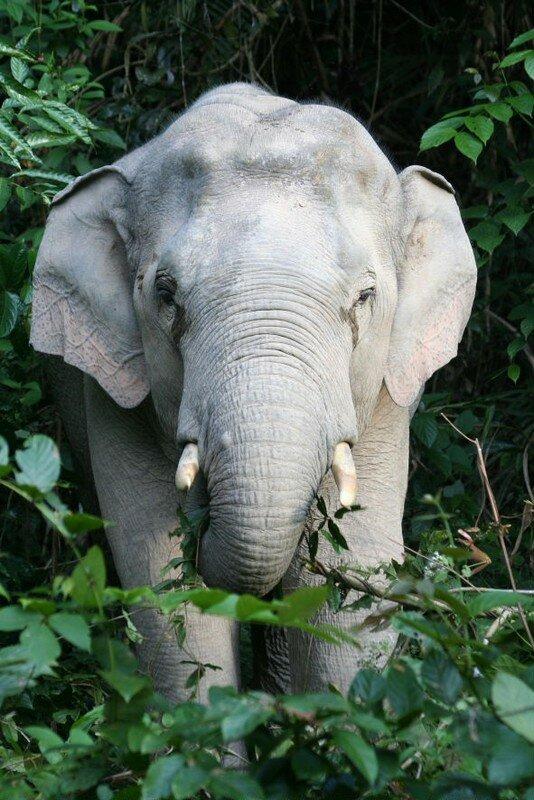 Elephas maximus (Ph. Mr A)