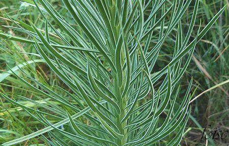feuilles linéaires éparses