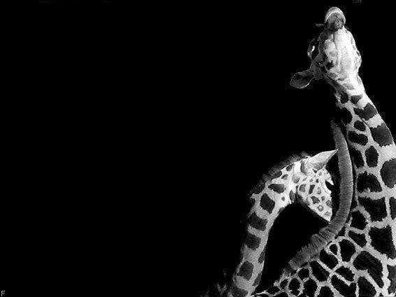 girafounettes