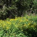 2008 08 21 De belle fleurs au pied du Mont Mézenc