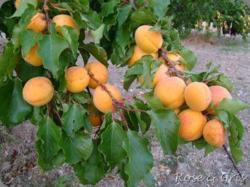 branche chargée d'abricots
