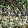 Une montagne de coques de lambi