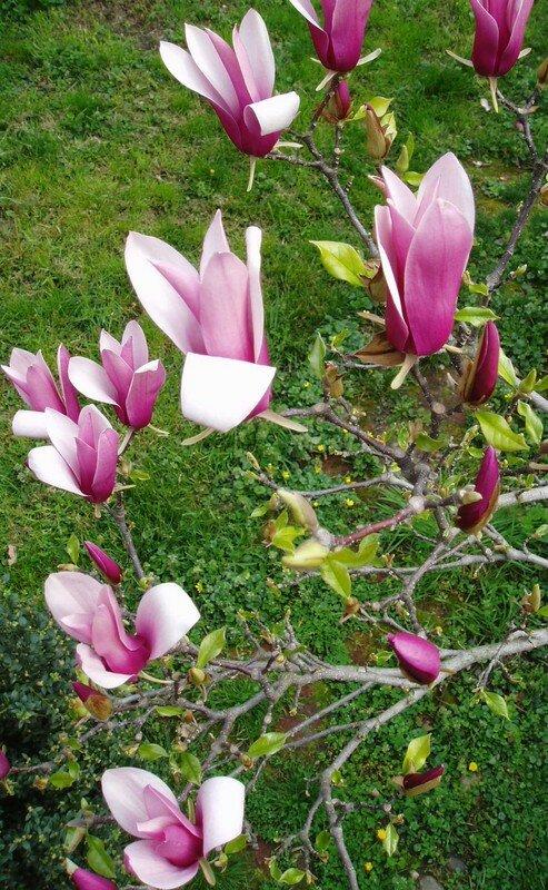 Tulipier2007-5