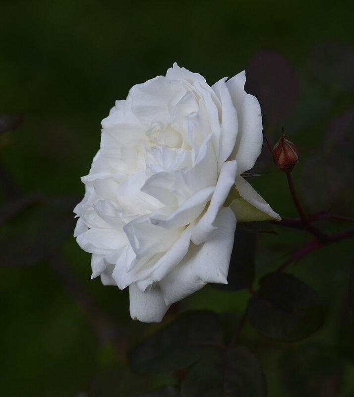 Rose Gisèle 11-02-21