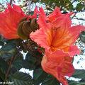 8815-Tulipier-du-Gabon