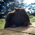wombat collector