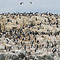 Cormorans Canal de Beagle
