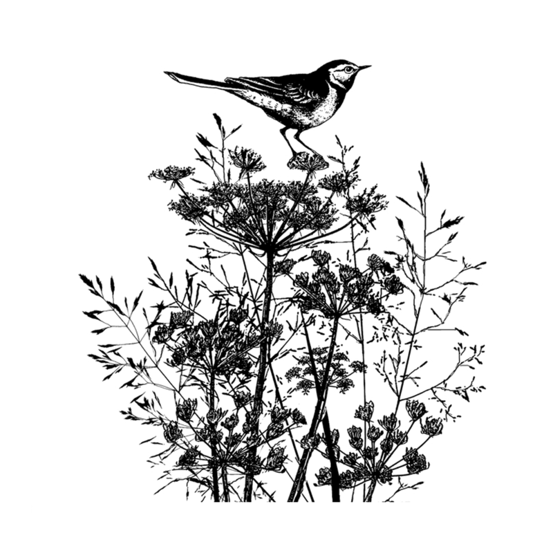 CI-495 Perching pied wagtail