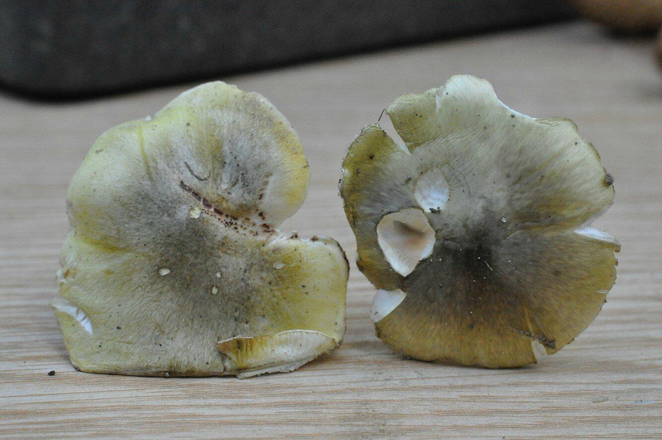 Amanita et Tricholoma (3)