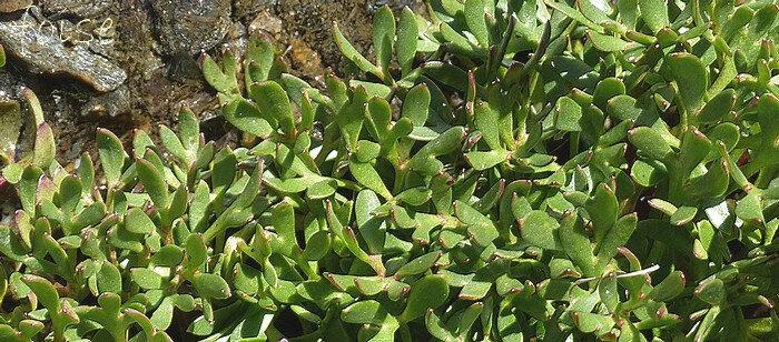 feuilles basales luisantes glabres pétiolées ternatiséquées