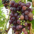 18 septembre - raisin en quantité et jus de raisin pasteurisé