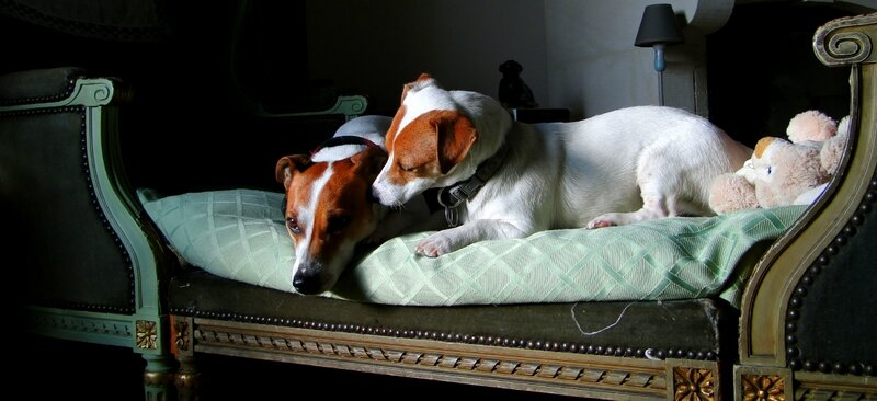 jack russell belle photo chiens