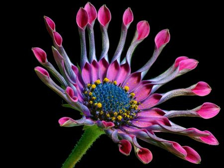 Macintosh_HD_photos_nature_FLEURS_daisy_2_bg_012503