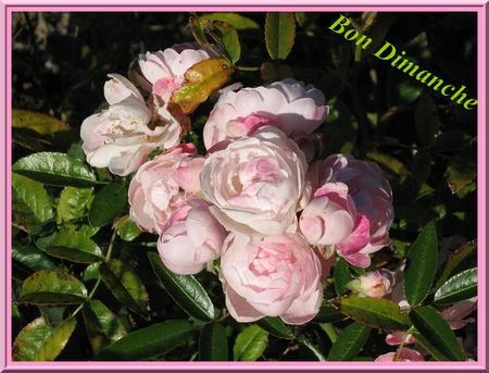 7_b_Dim_roses_pomponBPat