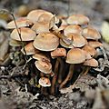 Collybia fusipes (5)