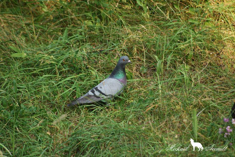 Pigeons genuine-homer 11