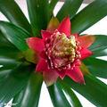 Le guzmania, une plante exotique très colorée