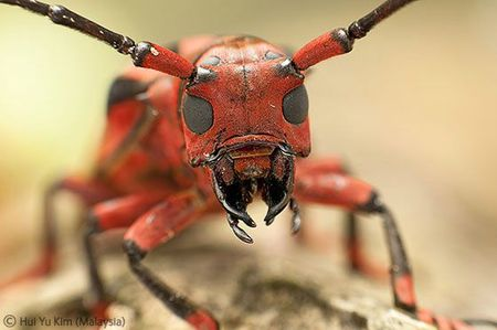 WPY red beetle