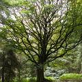 Mythes et légendes de brocéliande : le hêtre de ponthus …