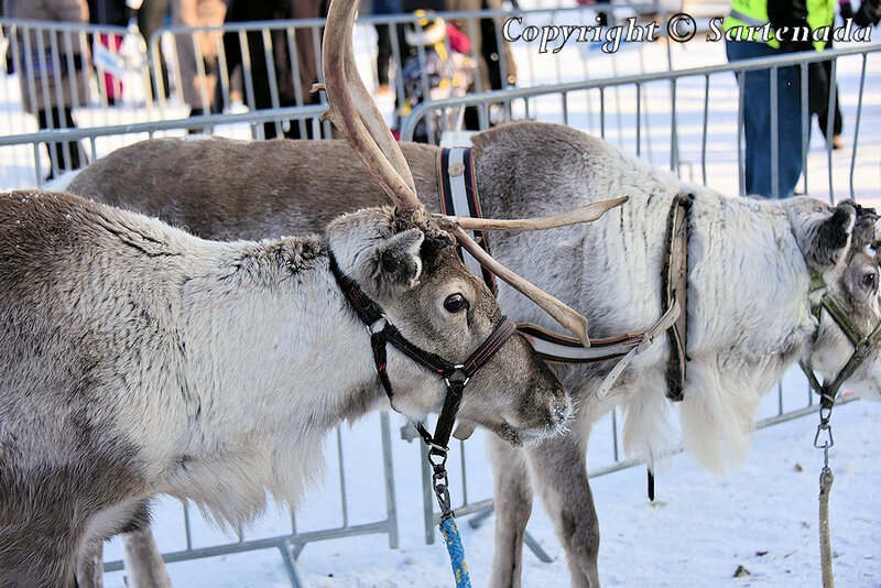 reindeer_rides_for_families_oulu_-29