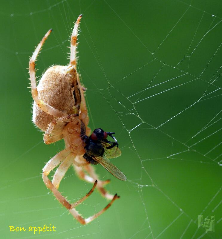 araignée