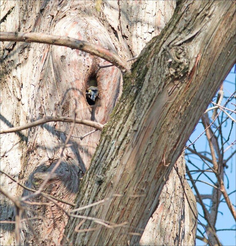 ville oiseau mesange trou arbre reperage 5 180217