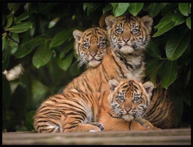 tigreaux