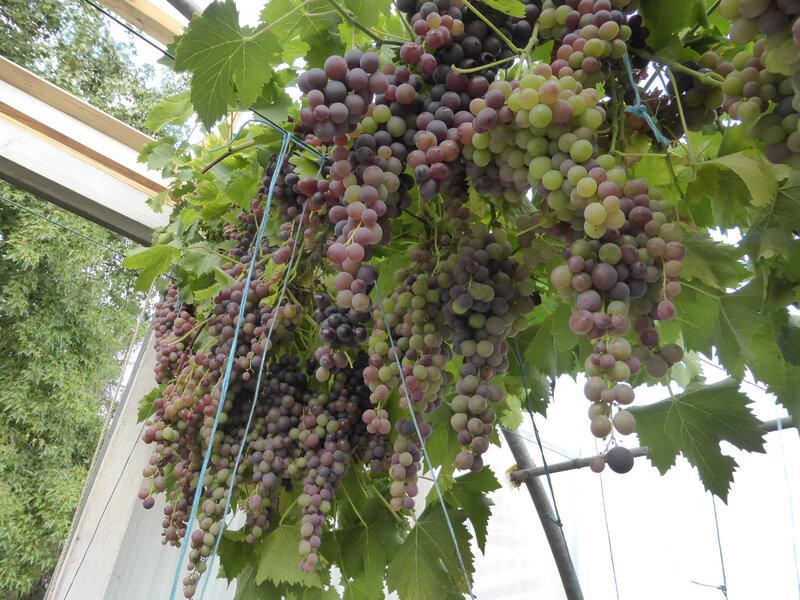 4-vignes, raisins (17)
