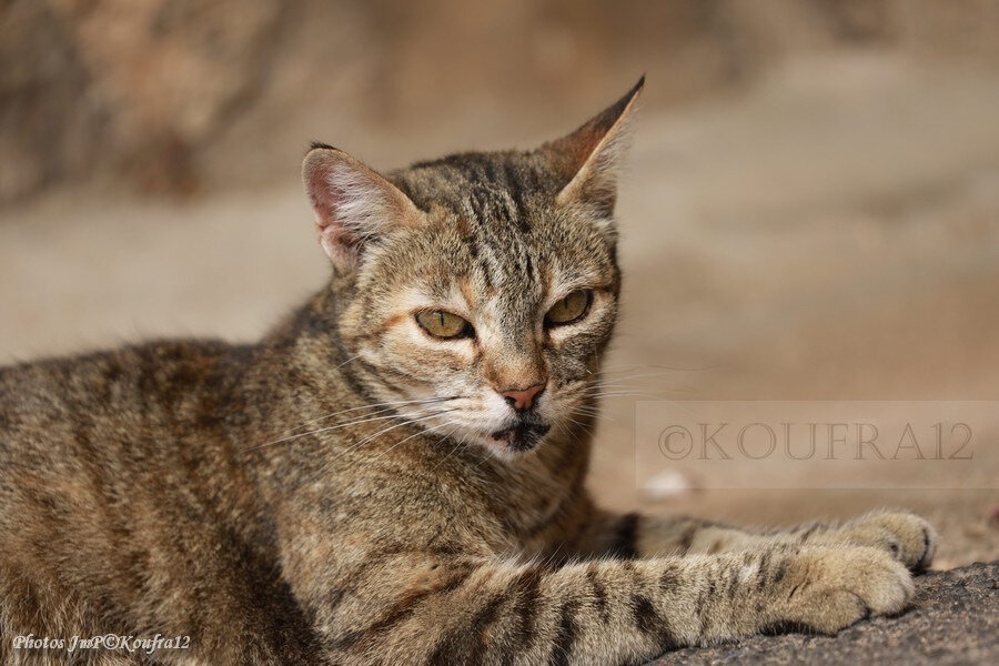 Photos JMP©Koufra 12 - Le Caylar - Chats - 07072019 - 0050