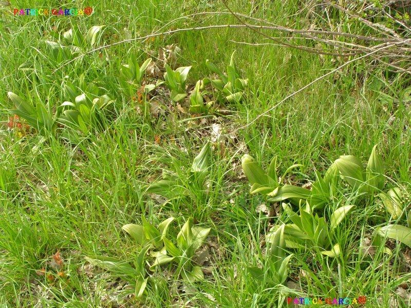 orchidees feuilles 84 copie