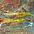 poissons fantomes (6)